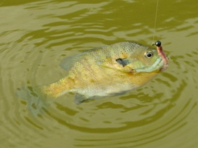 farm pond bluegill sunfish