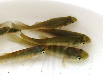 Types Of Live Minnows For Freshwater Fishing Freshwater