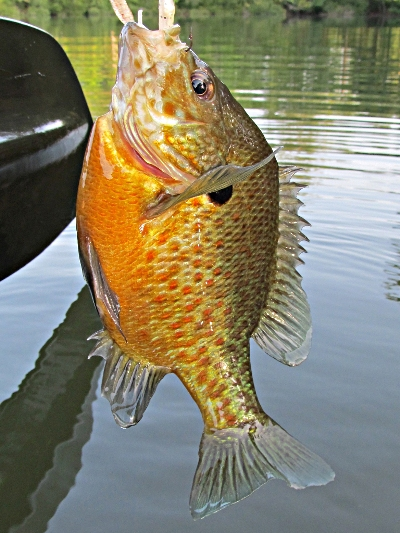 bluegill x pumpkinseed hybrid sunfish