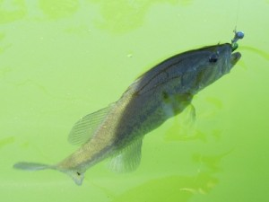 largemouth bass catch and release fishing