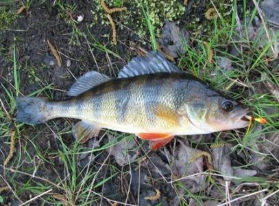 Fall yellow perch techniques freshwater fishing news for Yellow perch fishing secrets
