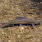 Arctic Grayling credit: National Park Service