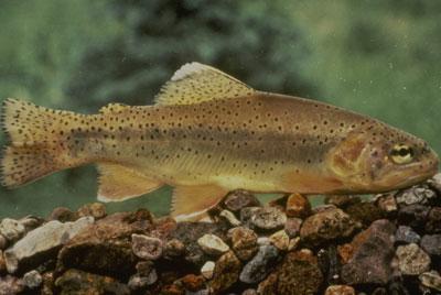 apache-trout
