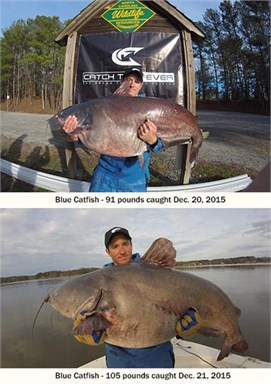 North Carolina Blue Catfish State Record (Broken Twice)