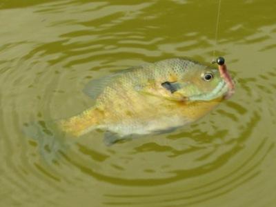 farm pond bluegill sunfish