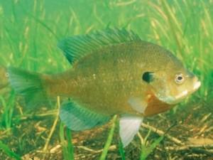 bluegill sunfish Lepomis macrochirus