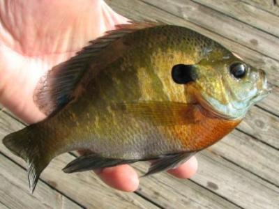 male bluegill sunfish