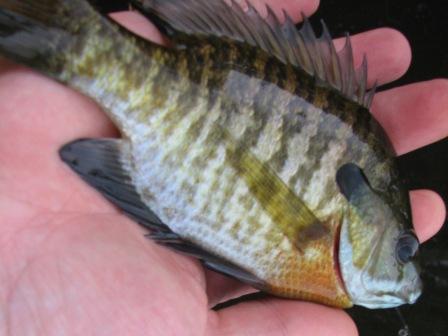 tidal river bluegill sunfish