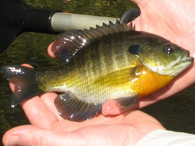 male bluegill sunfish