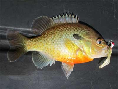 Redbreast Sunfish