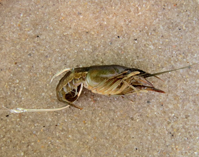 crayfish rig
