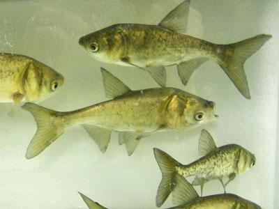 bighead carp fish